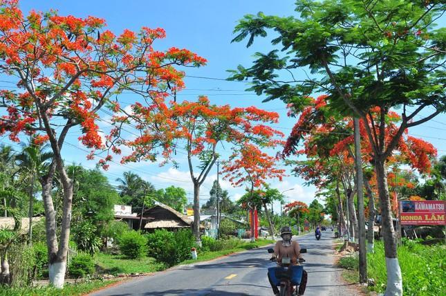 Ngỡ ngàng con đường hoa phượng tuyệt đẹp ở Hậu Giang ảnh 1