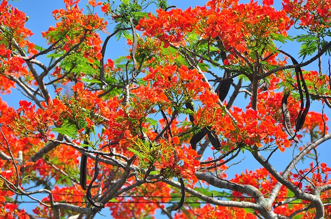Ngỡ ngàng con đường hoa phượng tuyệt đẹp ở Hậu Giang ảnh 7
