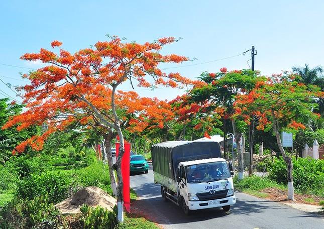 Ngỡ ngàng con đường hoa phượng tuyệt đẹp ở Hậu Giang ảnh 2