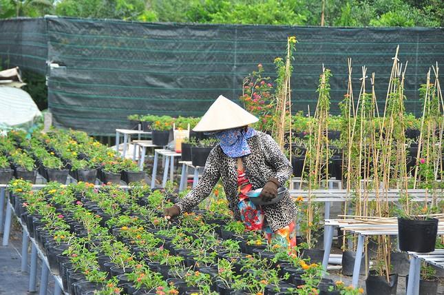 Thủ phủ hoa lớn nhất miền Tây chuẩn bị gần 3 triệu giỏ hoa phục vụ Tết ảnh 3