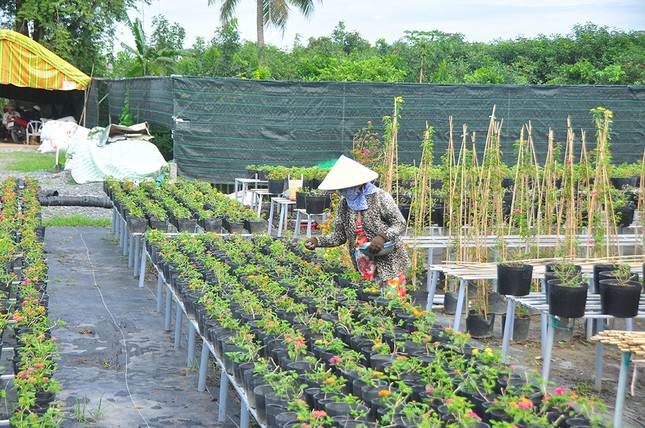 Thủ phủ hoa lớn nhất miền Tây chuẩn bị gần 3 triệu giỏ hoa phục vụ Tết ảnh 7