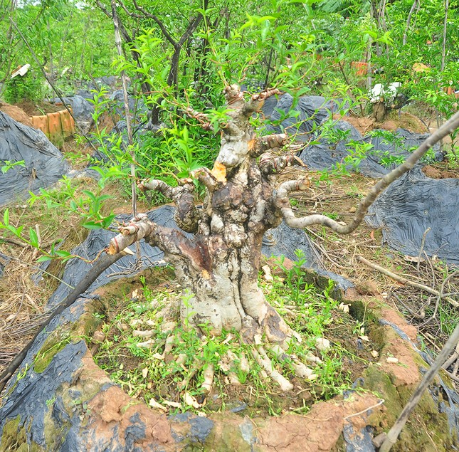 'Choáng ngợp' vườn bonsai 'khủng' ở Đồng Tháp ảnh 10