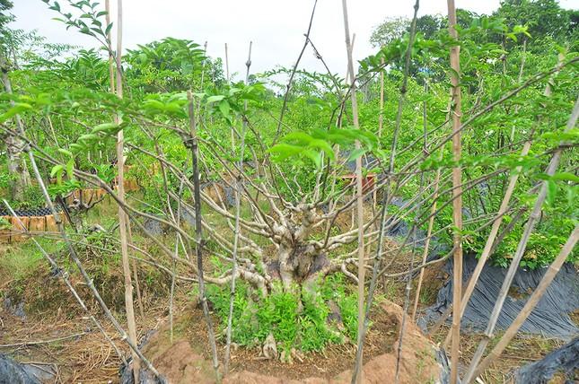 'Choáng ngợp' vườn bonsai 'khủng' ở Đồng Tháp ảnh 8