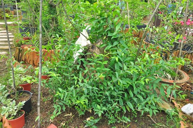'Choáng ngợp' vườn bonsai 'khủng' ở Đồng Tháp ảnh 7