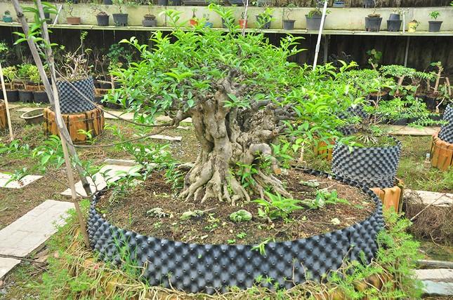 'Choáng ngợp' vườn bonsai 'khủng' ở Đồng Tháp ảnh 2