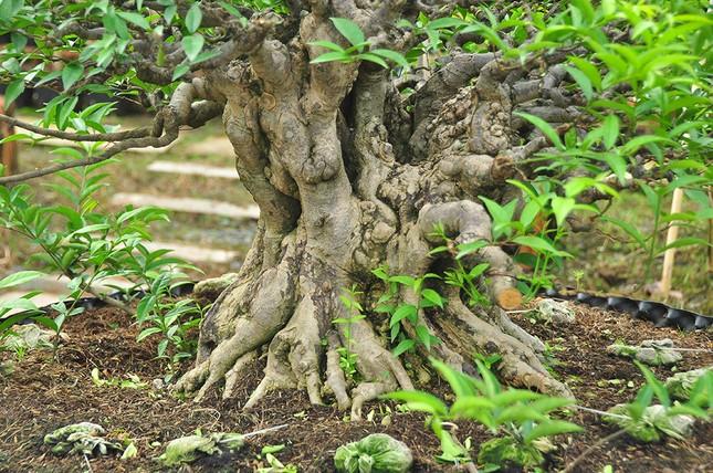 'Choáng ngợp' vườn bonsai 'khủng' ở Đồng Tháp ảnh 4