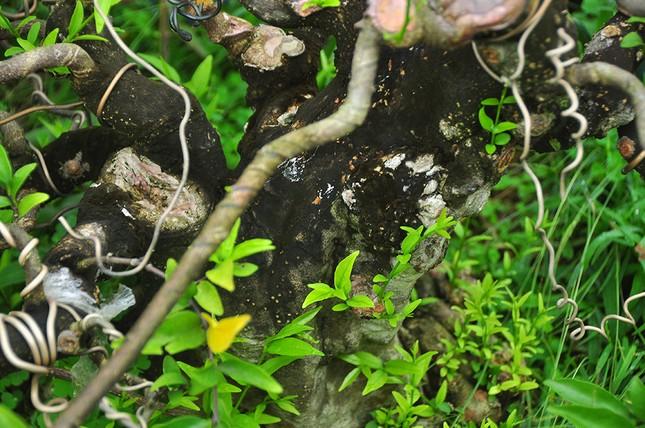'Choáng ngợp' vườn bonsai 'khủng' ở Đồng Tháp ảnh 9