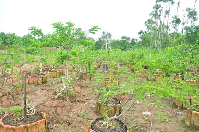 'Choáng ngợp' vườn bonsai 'khủng' ở Đồng Tháp ảnh 11