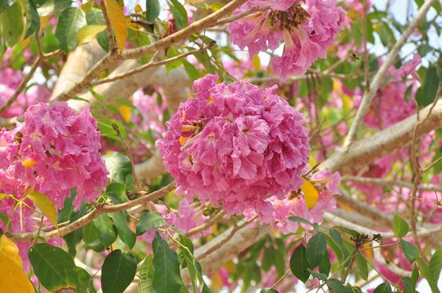 Con đường hoa kèn hồng ở miền Tây lung linh như phim Hàn thu hút giới trẻ ảnh 11