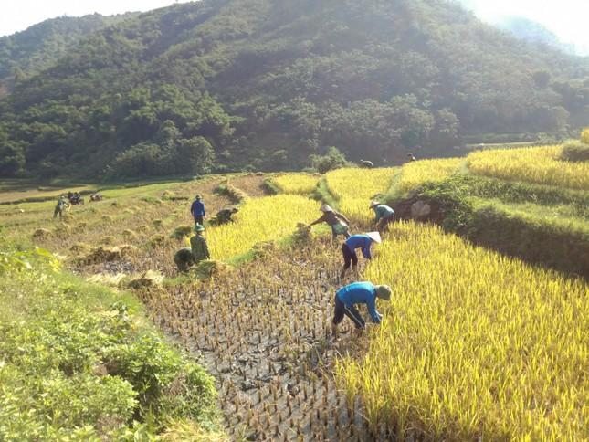 Thanh niên đội nắng giúp đồng bào vùng cao gặt lúa ảnh 1