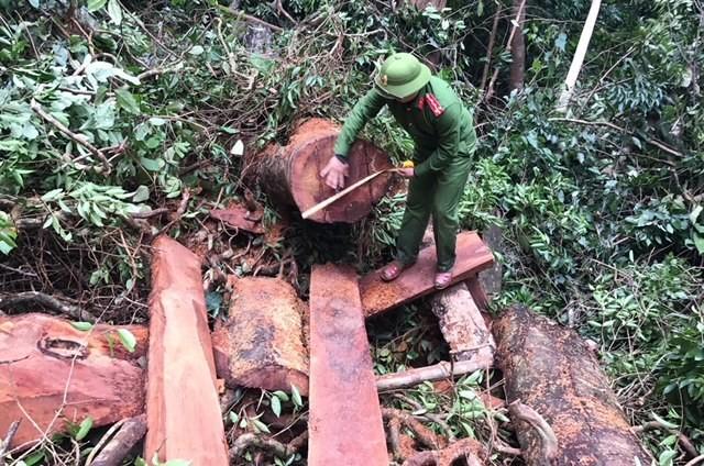 Bắt giữ nhóm phá rừng quy mô lớn ảnh 1