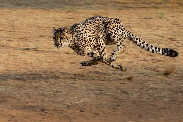 Điểm danh 10 loài động vật chạy nhanh nhất trái đất ảnh 1