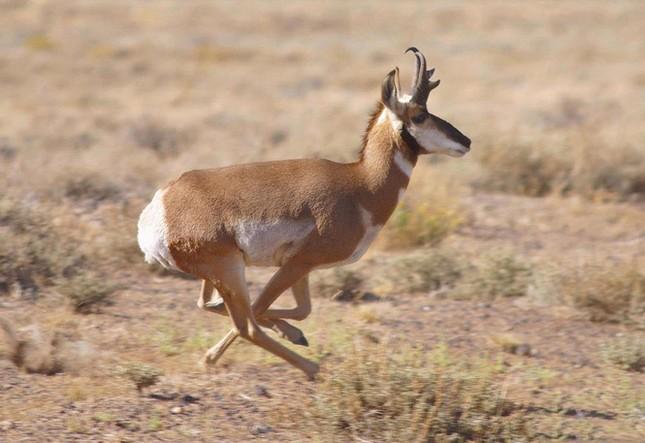 Điểm danh 10 loài động vật chạy nhanh nhất trái đất ảnh 3