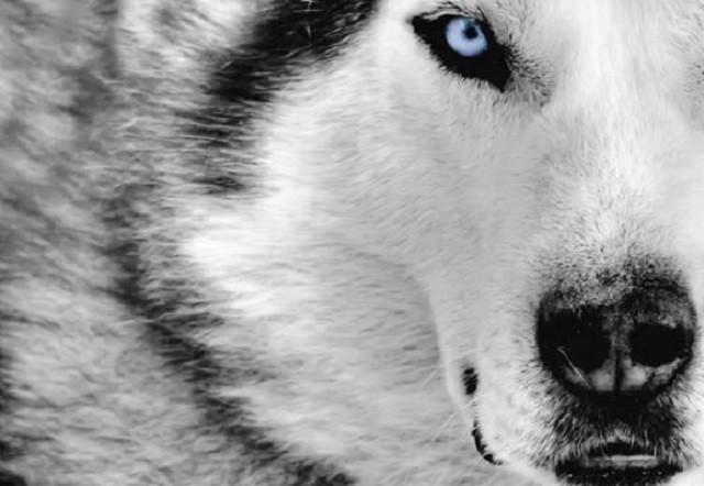 Những đặc điểm thú vị của giống chó Husky ảnh 1