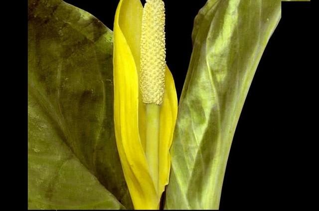 Top 10 loài hoa nặng mùi nhất thế giới ảnh 2