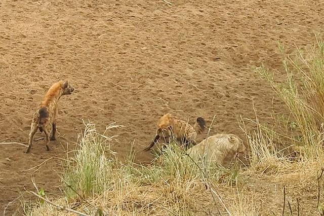 Bầy linh cẩu trả giá đắt vì cả gan tấn công sư tử ảnh 1
