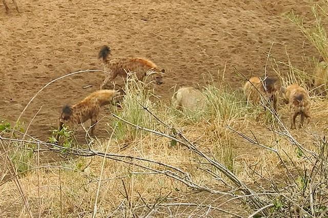 Bầy linh cẩu trả giá đắt vì cả gan tấn công sư tử ảnh 2