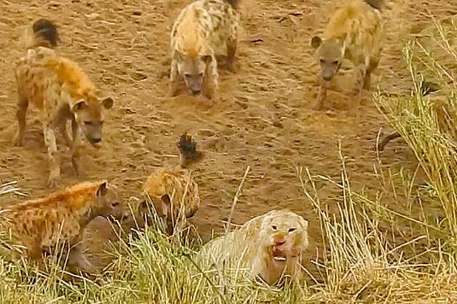 Bầy linh cẩu trả giá đắt vì cả gan tấn công sư tử ảnh 3