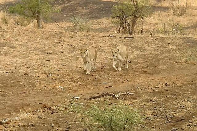 Bầy linh cẩu trả giá đắt vì cả gan tấn công sư tử ảnh 4