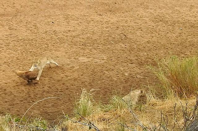 Bầy linh cẩu trả giá đắt vì cả gan tấn công sư tử ảnh 5