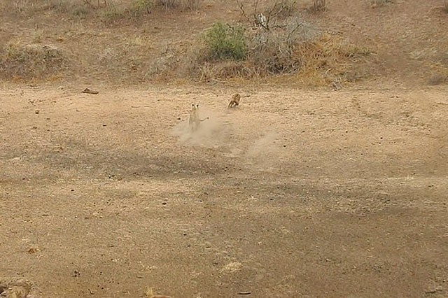 Bầy linh cẩu trả giá đắt vì cả gan tấn công sư tử ảnh 6