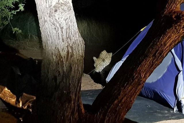 Báo hoa mai tấn công người cắm trại qua đêm ảnh 6
