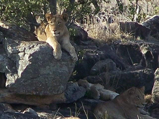 'Ngứa mắt' với sư tử, trâu rừng lao lên tấn công giúp voi con thoát chết ngoạn mục ảnh 1