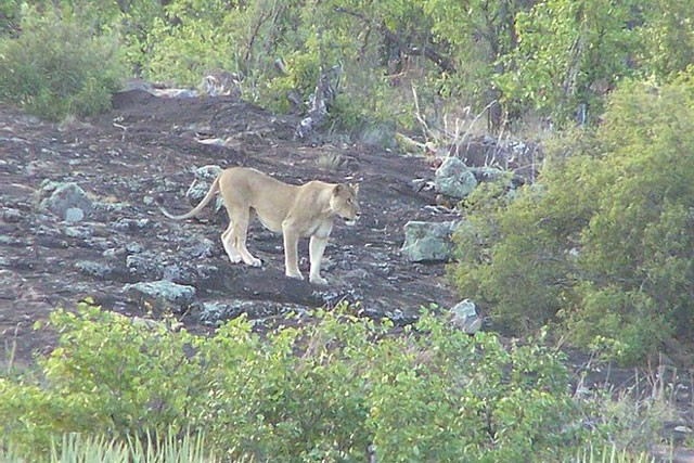 'Ngứa mắt' với sư tử, trâu rừng lao lên tấn công giúp voi con thoát chết ngoạn mục ảnh 3
