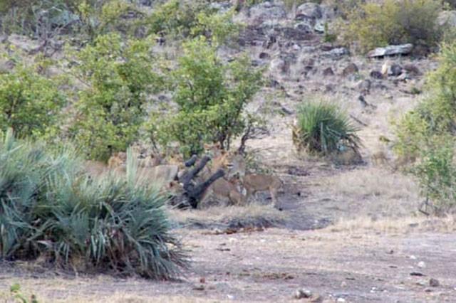 'Ngứa mắt' với sư tử, trâu rừng lao lên tấn công giúp voi con thoát chết ngoạn mục ảnh 4