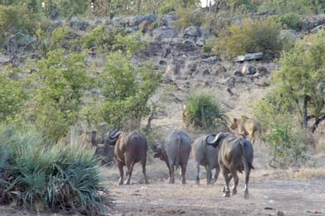 'Ngứa mắt' với sư tử, trâu rừng lao lên tấn công giúp voi con thoát chết ngoạn mục ảnh 5