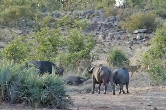 'Ngứa mắt' với sư tử, trâu rừng lao lên tấn công giúp voi con thoát chết ngoạn mục ảnh 6