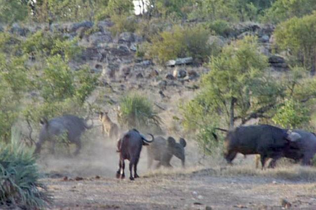 'Ngứa mắt' với sư tử, trâu rừng lao lên tấn công giúp voi con thoát chết ngoạn mục ảnh 7