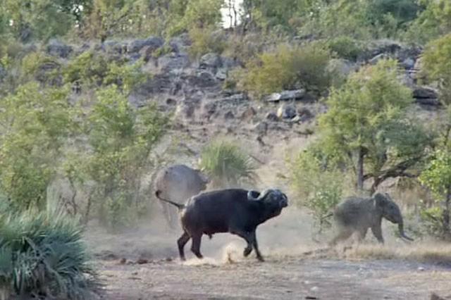 'Ngứa mắt' với sư tử, trâu rừng lao lên tấn công giúp voi con thoát chết ngoạn mục ảnh 8