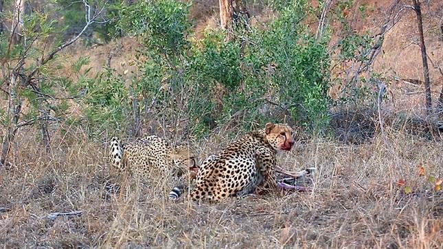 Linh cẩu cướp mồi của báo săn, cảnh tượng sau đó mới khiến nhiều người kinh hãi ảnh 1