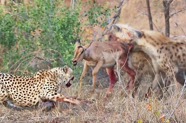 Linh cẩu cướp mồi của báo săn, cảnh tượng sau đó mới khiến nhiều người kinh hãi ảnh 3