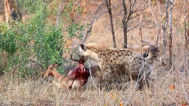 Linh cẩu cướp mồi của báo săn, cảnh tượng sau đó mới khiến nhiều người kinh hãi ảnh 4