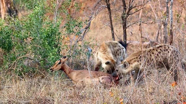 Linh cẩu cướp mồi của báo săn, cảnh tượng sau đó mới khiến nhiều người kinh hãi ảnh 5