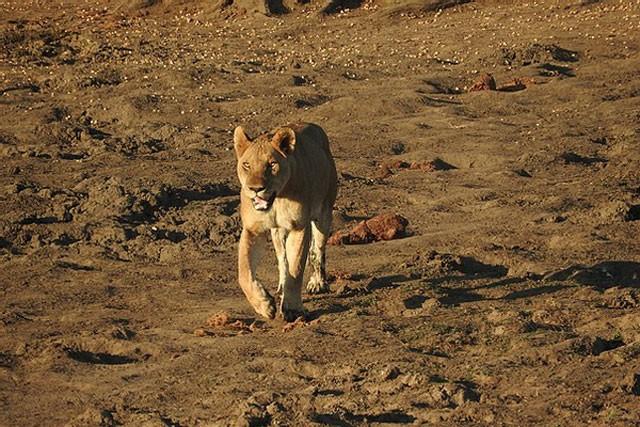 Mặc kệ người đứng nhìn, sư tử vẫn thản nhiên 'xẻ thịt' trâu rừng ảnh 1