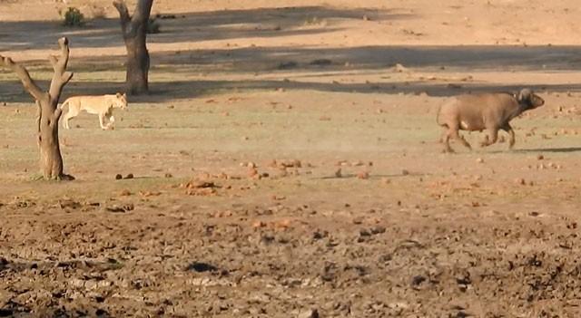 Mặc kệ người đứng nhìn, sư tử vẫn thản nhiên 'xẻ thịt' trâu rừng ảnh 2