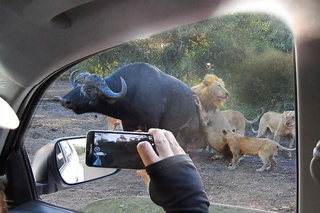 Mặc kệ người đứng nhìn, sư tử vẫn thản nhiên 'xẻ thịt' trâu rừng ảnh 3