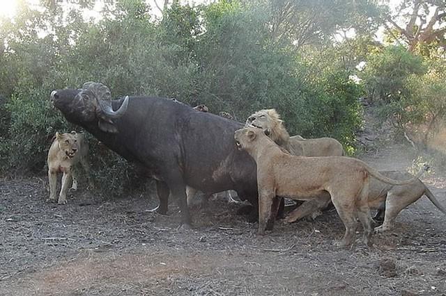 Mặc kệ người đứng nhìn, sư tử vẫn thản nhiên 'xẻ thịt' trâu rừng ảnh 4