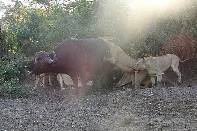 Mặc kệ người đứng nhìn, sư tử vẫn thản nhiên 'xẻ thịt' trâu rừng ảnh 5
