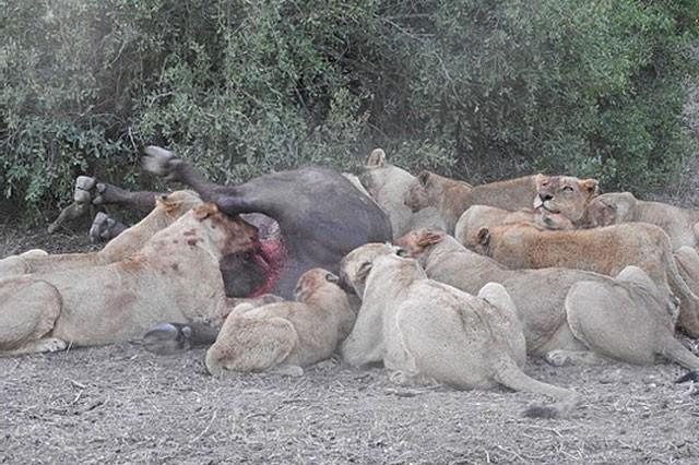 Mặc kệ người đứng nhìn, sư tử vẫn thản nhiên 'xẻ thịt' trâu rừng ảnh 6