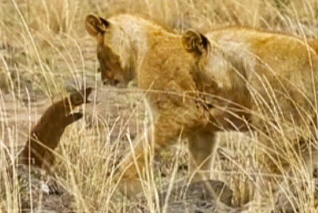 Cầy Mongoose liều lĩnh và tinh ranh khiến bầy sư tử 'bó tay' ảnh 1