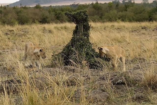Cầy Mongoose liều lĩnh và tinh ranh khiến bầy sư tử 'bó tay' ảnh 2