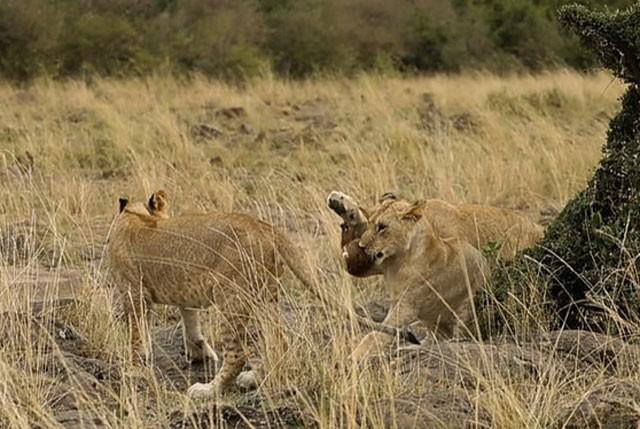Cầy Mongoose liều lĩnh và tinh ranh khiến bầy sư tử 'bó tay' ảnh 3