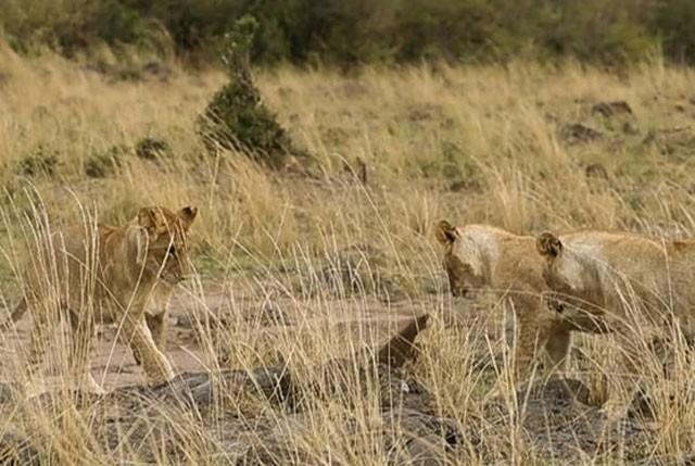 Cầy Mongoose liều lĩnh và tinh ranh khiến bầy sư tử 'bó tay' ảnh 4