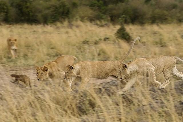 Cầy Mongoose liều lĩnh và tinh ranh khiến bầy sư tử 'bó tay' ảnh 5