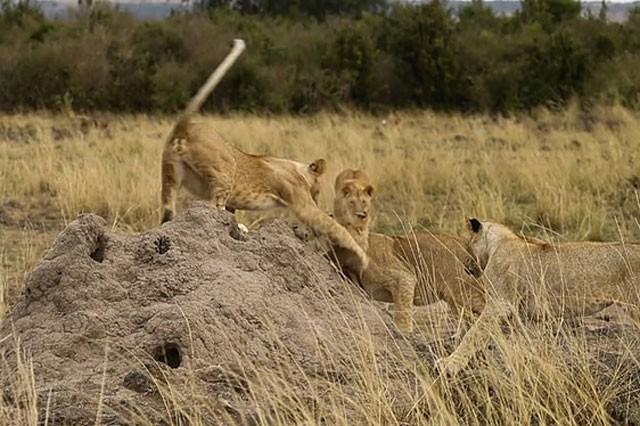 Cầy Mongoose liều lĩnh và tinh ranh khiến bầy sư tử 'bó tay' ảnh 6