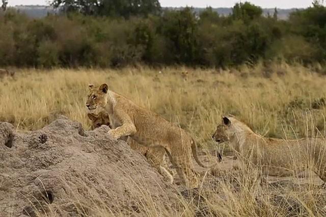 Cầy Mongoose liều lĩnh và tinh ranh khiến bầy sư tử 'bó tay' ảnh 7